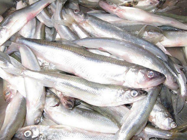 мелкая рыба у рыбаков
